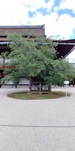 左近桜全身